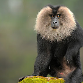 lion-tailed macaque by Sathya Vagale - Animals Other Mammals