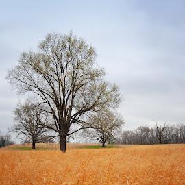 Golden Fields by Timothy Graves - Landscapes Prairies, Meadows & Fields ( field, tree, meadow, trees, landscape, colrs, prairie )