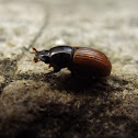 Common Dung Beetle