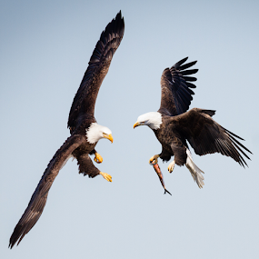 Mine. Stay Away! by Mike Trahan - Animals Birds ( nature, bald eagle, composite, mississippi )
