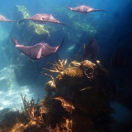Stingrays by Shena Rinehart Jobes - Animals Sea Creatures (  )