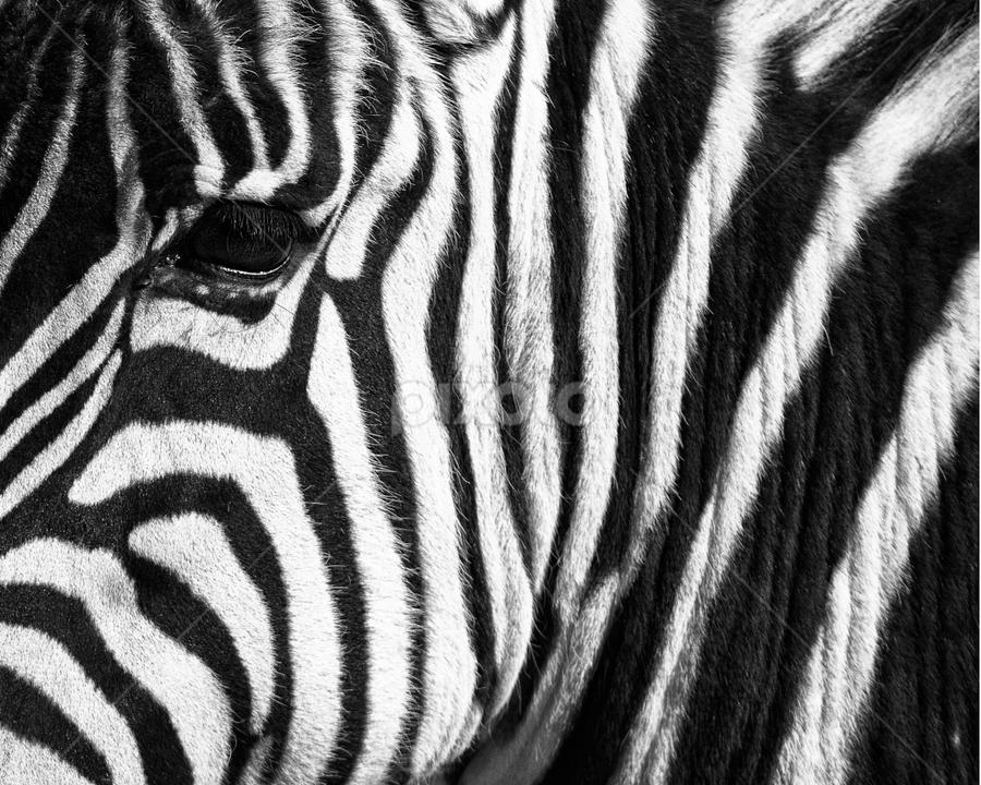 Stripes and eye by Cristobal Garciaferro Rubio - Abstract Patterns ( b/w, zebra, stripe, eye )