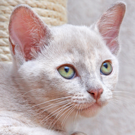 Rainbow eyes by Mia Ikonen - Animals - Cats Kittens ( calm, finland, cute, burmese, eyes )