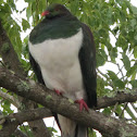 Kereru (New Zealand Pigeon)