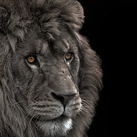 by Tony Austin - Animals Lions, Tigers & Big Cats ( face, lion, cat, feline, eyes )