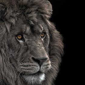 lionface copy copy.jpg