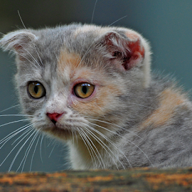 Scottish fold by Cacang Effendi - Animals - Cats Kittens ( cattery, kitten, cat, chandra, animal )