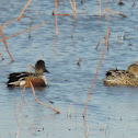 Northern Shoveler Duck (pair)
