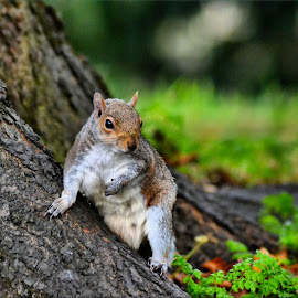Squirrel by Nic Scott - Animals Other Mammals ( squirrels, grey squirrel, squirrel,  )