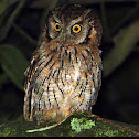 Tropical screech-owl (corujinha-do-mato)
