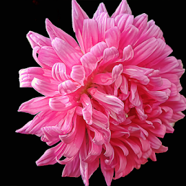 pink flower by LADOCKi Elvira - Flowers Single Flower ( nature, color, garden, 2014.flowers )