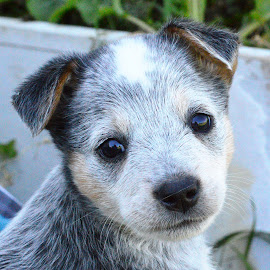 Ruby by Cynthia Potter Nichols - Animals - Dogs Puppies ( puppies, pet portraits, pets, australian cattle dog puppy, acd,  )