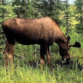 Moose in Velvet by Jim Dicken - Animals Other Mammals ( young moose, moose in velvet, alaska moose, moose, bull moose )