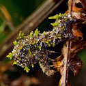 Lichen caterpillar
