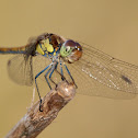 Libélula (Common darter)