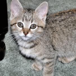 Little Lilly by Karen Hardman - Animals - Cats Kittens