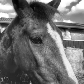 My beautiful cheeky mare by Joanna Holland - Animals Horses