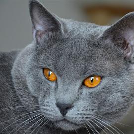 Hugo 15215 by Serge Ostrogradsky - Animals - Cats Portraits ( chartreux cat )