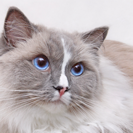 Please! by Mia Ikonen - Animals - Cats Portraits ( ragdoll, pleading, finland, endearing, expressive )