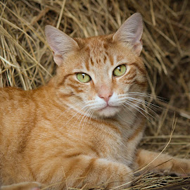 Red the Barn Cat by Vanessa Venatrix - Animals - Cats Portraits ( orange, cat, portrait, farm, orange tabby, pet portrait, meow, barn, pet, hay, green eyes, hay bale, feline, tabby, kitty, animal )