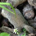 Baby groundhog