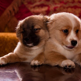 MY dogs when they were puppies , Chubby and Sushi by Ashraf Osman - Animals - Dogs Puppies