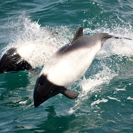 Cormorant Dolphins by Sam Toucan - Animals Sea Creatures ( dolphins )