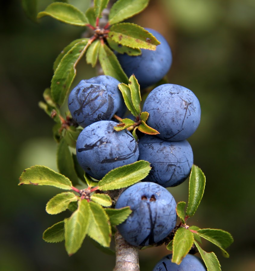 Bagas by Gil Reis - Nature Up Close Gardens & Produce ( wild, macro, nature, bio, fruits, plants, portugal )