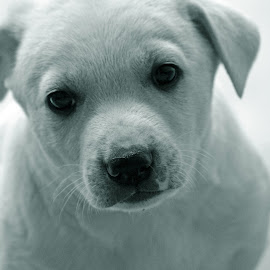 Hello ! by Bhupendra Giri - Animals - Dogs Puppies ( white, puppy, cute, eyes,  )