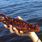 Giant Red Sea Cucumber