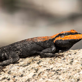 Garden Lizard by Lohit Raj - Animals Reptiles ( garden lizard, reptiles, orange, lizard, black )