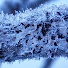 Hammered Shield Lichen