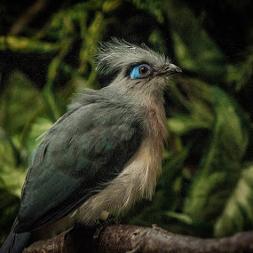 Crested Coua at the Memphis Zoo by Mary Phelps - Animals Birds ( crested coua, memphis, zoo, tennessee, memphis zoo,  )
