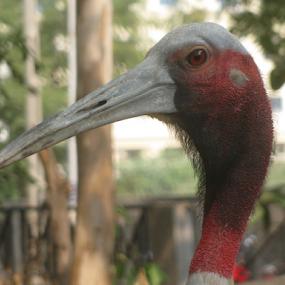 Siberian Crane by Shishir Desai - Animals Birds ( crane, red, white, pwc87,  )