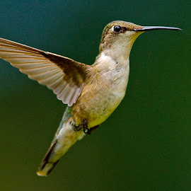 !!!! by Roy Walter - Animals Birds ( flight, animals, wings, hummingbird, wildlife, feathers, birds )