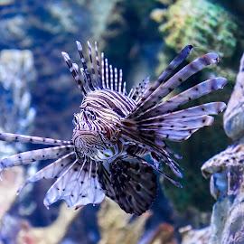 Lion Fish.... by Graham Markham - Animals Fish ( lion, coral, 2014, fish, tenerife )