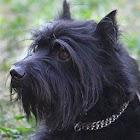 Schnauzer dog & puppy puzzles icon