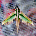 Green Hawk Moth