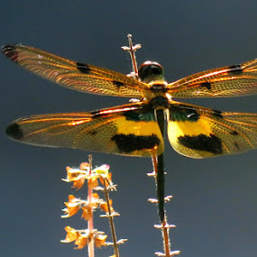 Dragon at my home by Protim Banerjee - Animals Insects & Spiders ( nature, color, sunlight, dragonfly )