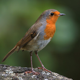 Robin by Bob Rawlinson - Animals Birds ( marton hide )