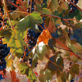 the harvest by Leslie Hunziker - Nature Up Close Gardens & Produce ( grapes, vineyards, harvest, winery )