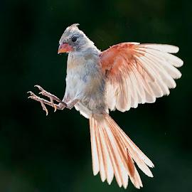 Flare - at the Texas Photo Ranch by Wade Grassedonio - Animals Birds ( birds     animals     cardinals     texas photo ranch     wildlife )