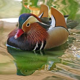 Mandarin duck by Nora Mihaylova - Animals Other ( mandarin duck water )