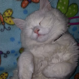 Dream Sweet Dreams Mr. Snowbie by Catherine Arguelles - Animals - Cats Kittens