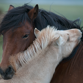 parental cares by Luca Paramidani - Animals Horses ( parents, iceland, horses, care, son )