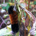 Woolly bear caterpillar