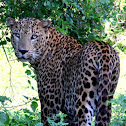 Leopard (Sri Lankan)