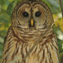 Barred Owl (Hoot Owl)