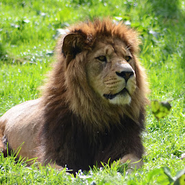 Belfast zoo king by Audra Kolcina - Animals Lions, Tigers & Big Cats
