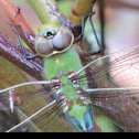 Common Green Darner     Immature